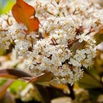 Фотиния Фразера (Photinia fraseri)