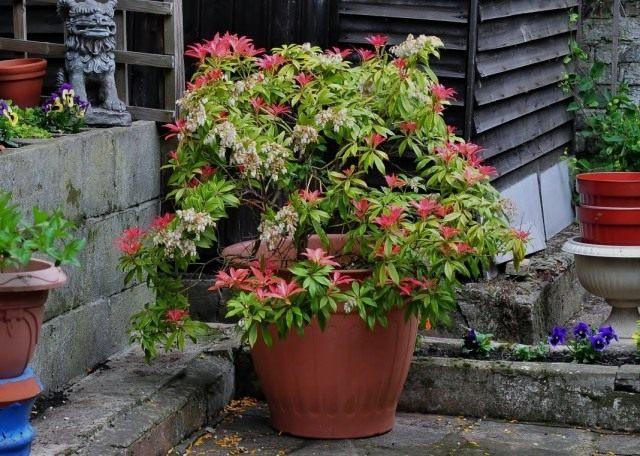 Пиерис японский (Pieris japonica)