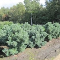 Cосна мелкоцветная «Schoon's Bonsai» (Pinus parviflora)