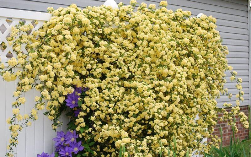 Rosa-Banksiae-Lutea2