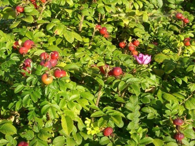 Роза мохнатая (Rosa villosa)