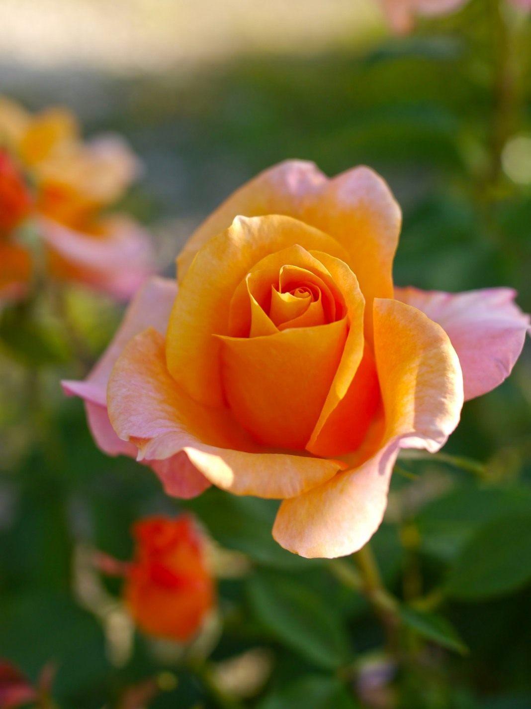 Rose-Remy-Martin-1