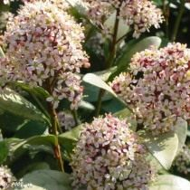 Скиммия японская (Skimmia japonica)