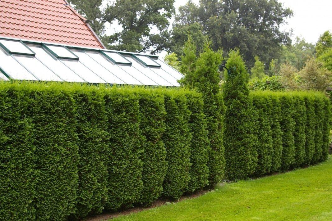 зеленый забор живая изгородь на даче фото того, такой рецепт