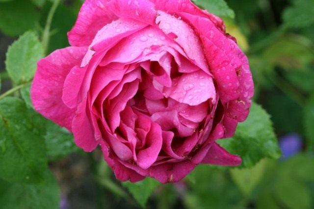 Бурбонская роза сорт 'Baron J.B. Gonella'