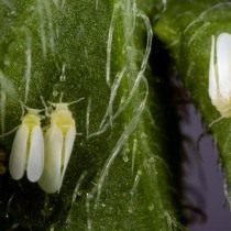 Табачная белокрылка (Bemisia tabaci)