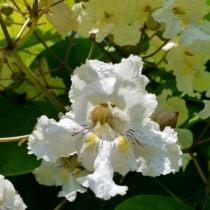 Катальпа прекрасная (Catalpa speciosa)