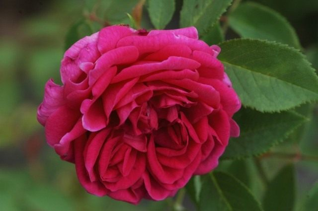 Бурбонская роза сорт 'Catherine Guillot'