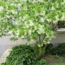 Снежноцвет виргинский, или Хионантус виргинский (Chionanthus virginicus)