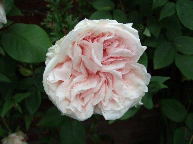 Бурбонская роза сорт 'Climbing Souvenir de la Malmaison'