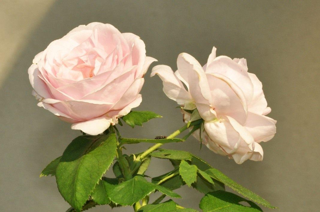 тропический бурбонские розы фото классическое консерваторское