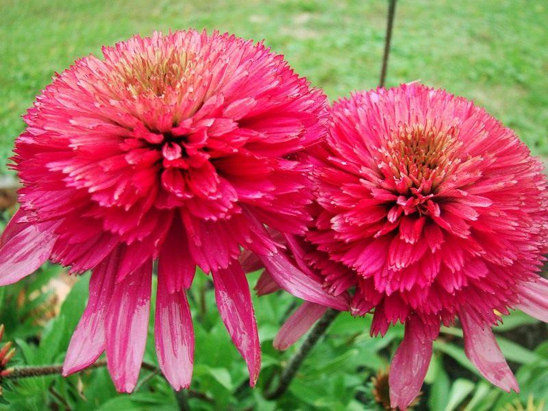 Echinacea-purpurea-Southern-Belle-1