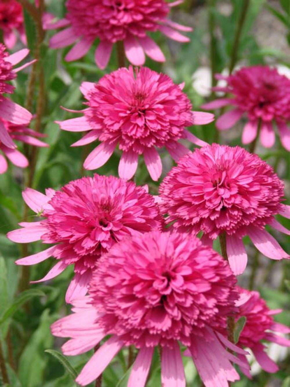 Echinacea-purpurea-Southern-Belle-2