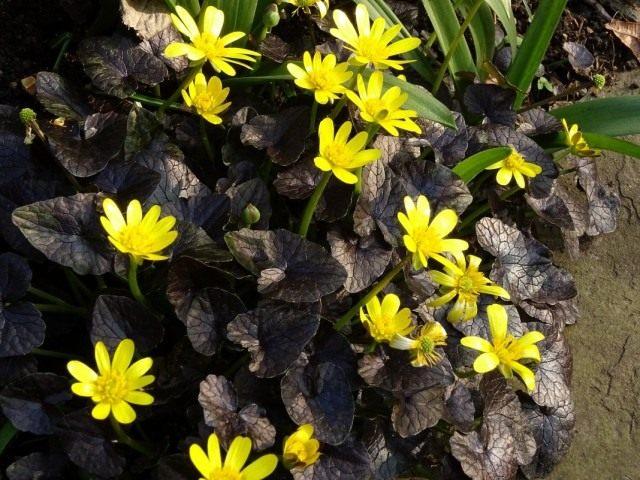 Чистяк весенний «Бразен Хасси» (Ficaria verna 'Brazen Hussy')