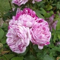 Бурбонская роза сорт 'Honorine-de-Brabant'
