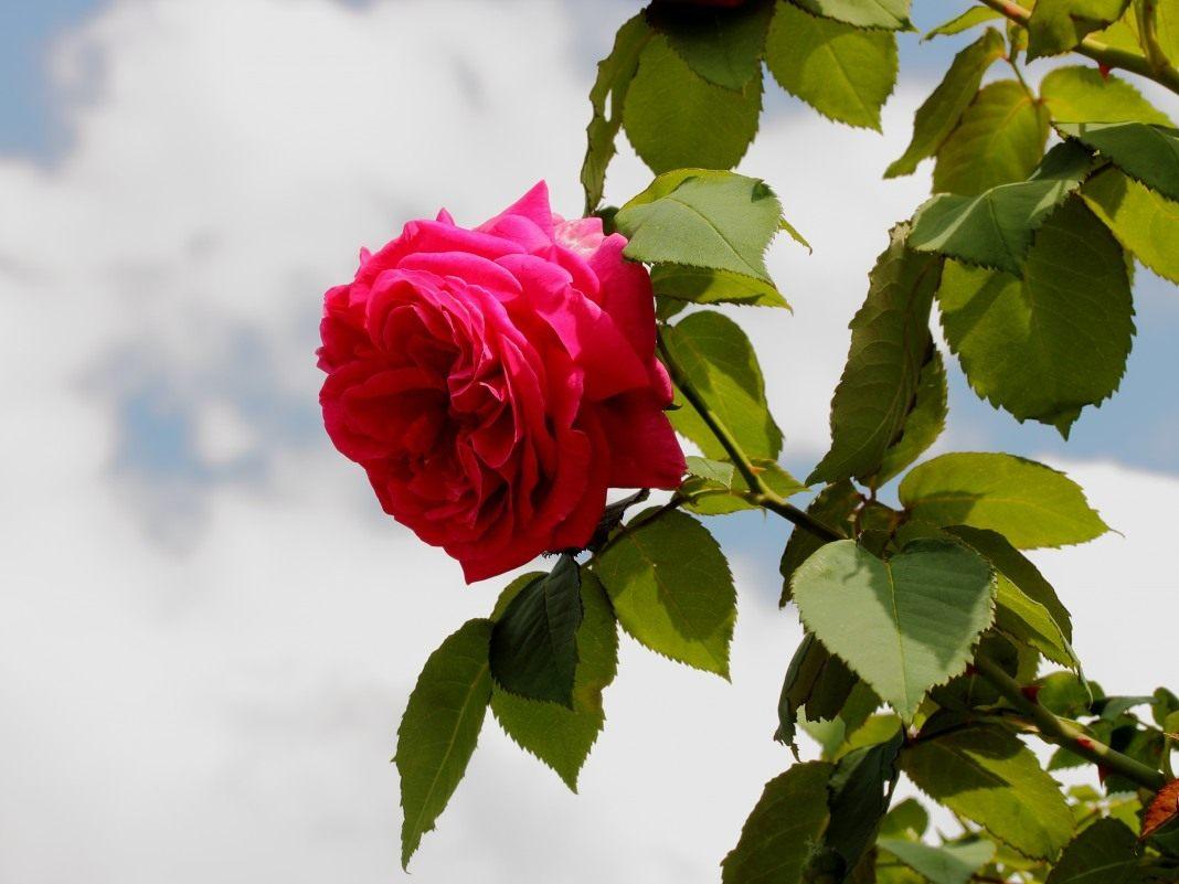 Фото больших букетов роз широкоформатные