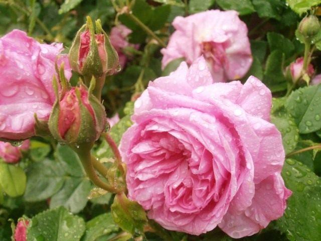 Бурбонская роза сорт 'Madame de Sevigne'