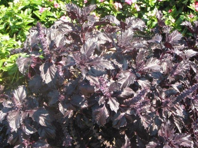 Базилик душистый 'Purple Ruffles' (Ocimum basilicum 'Purple Ruffles')