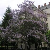 Павловния, или Адамово дерево (Paulownia)