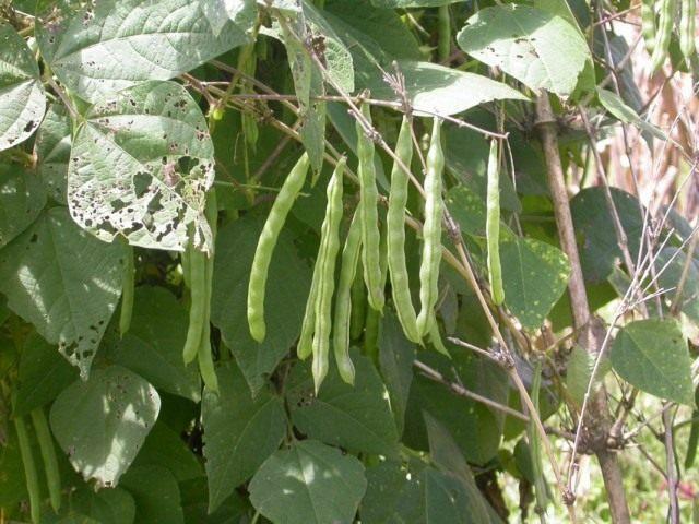Фасоль обыкновенная (Phaseolus vulgaris)