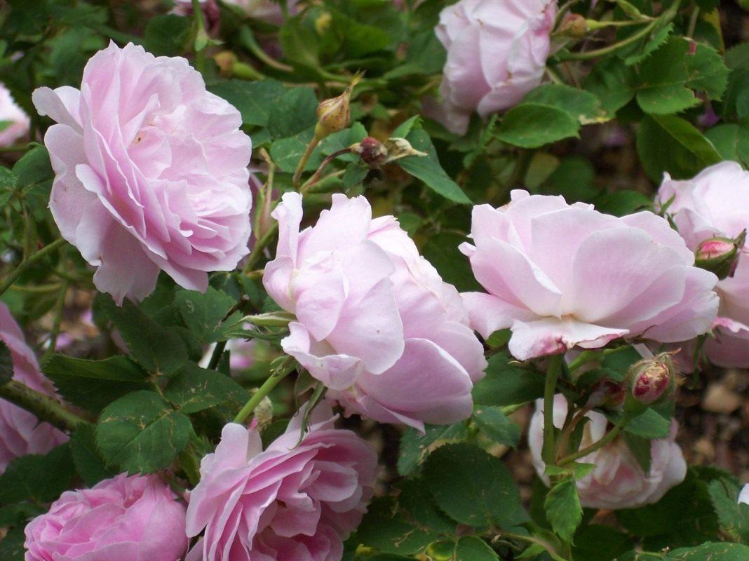 изготовления бурбонские розы фото чиновники уверяют