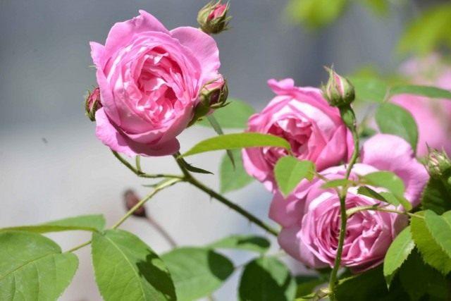 Бурбонская роза сорт 'La Reine Victoria'