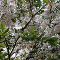 Стиракс японский (Styrax japonicus)