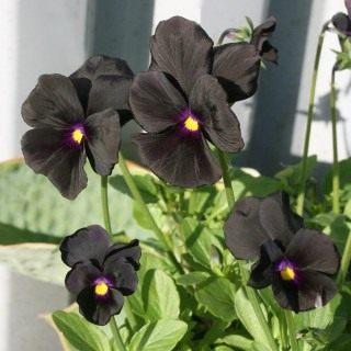 Фиалка Виттрока, или Виола Виттрока «Молли Сандерсон» (Viola wittrockiana 'Molly Sanderson')