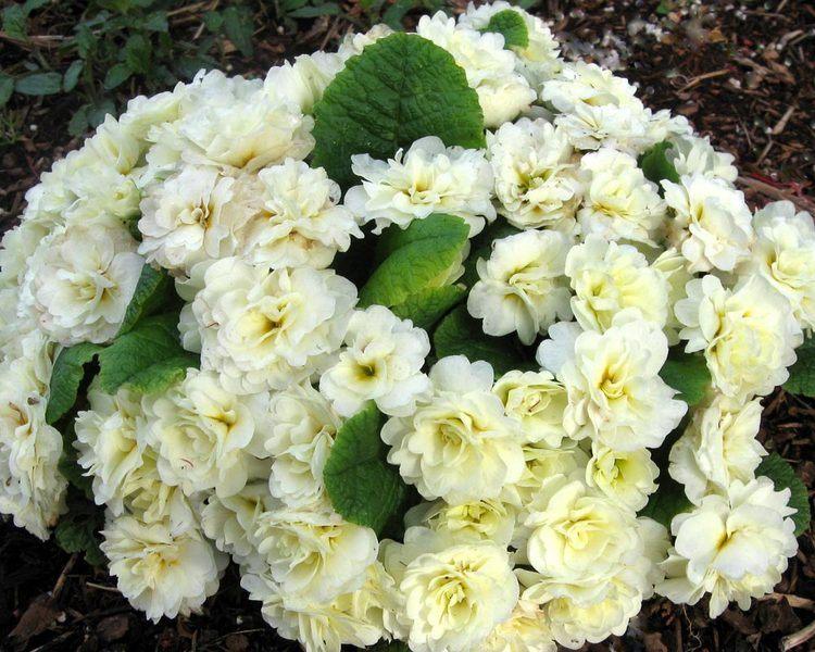 primula-belarina-cream-2