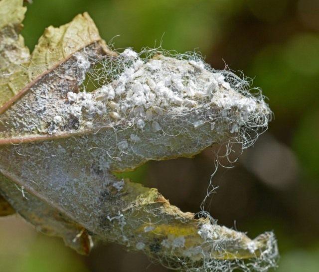 Лист растения поражённый белокрылкой