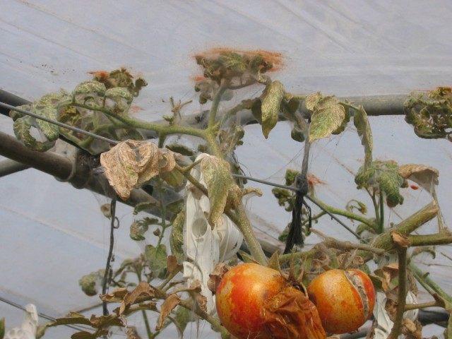 Клещи — растительноядные садовые вредители