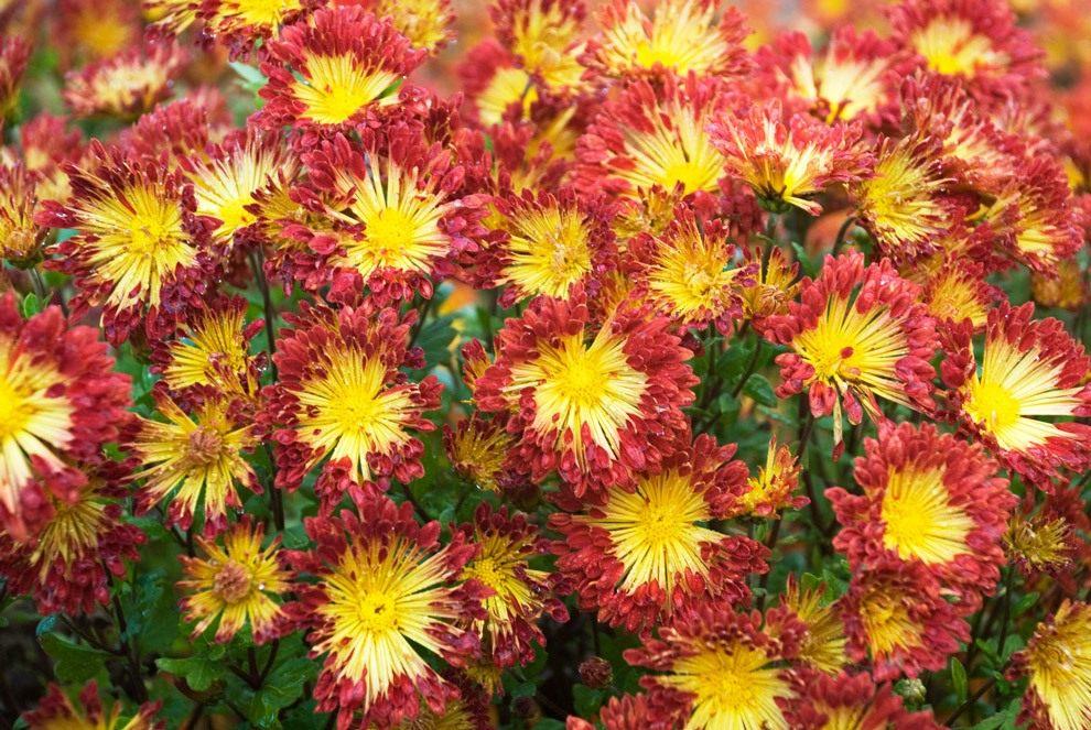 Chrysanthemum-Matchsticks-3