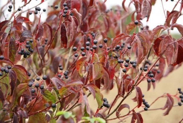 Дёрен красный, или Свидина кроваво-красная (Cornus sanguinea)
