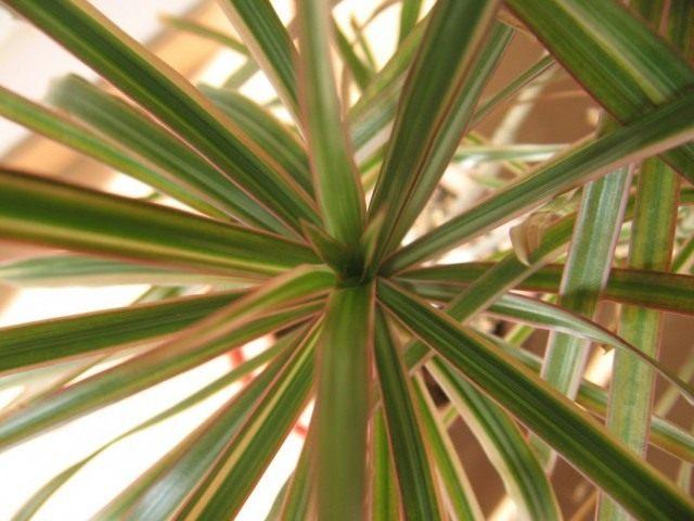 Драцена окаймлённая, или Драцена маргината (Dracaena marginata)