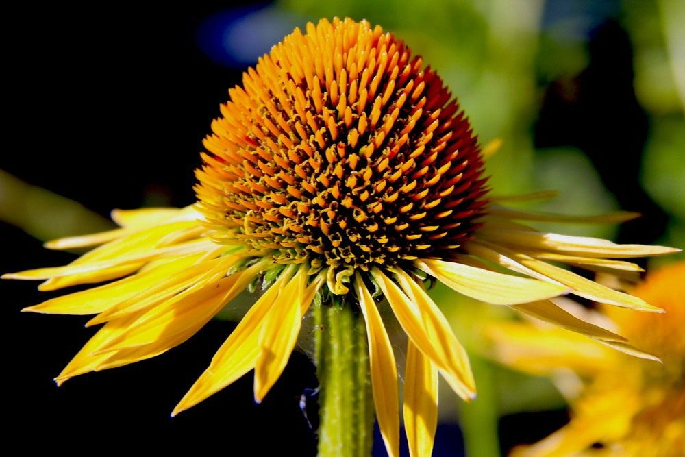 Echinacea-Mai-Sunshine1