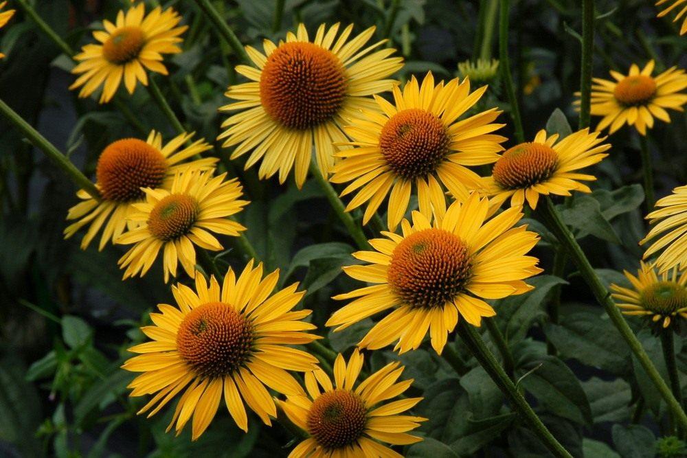 Echinacea-Mai-Sunshine3