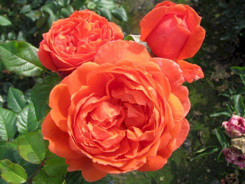 English-Rose-Summer-Song-1