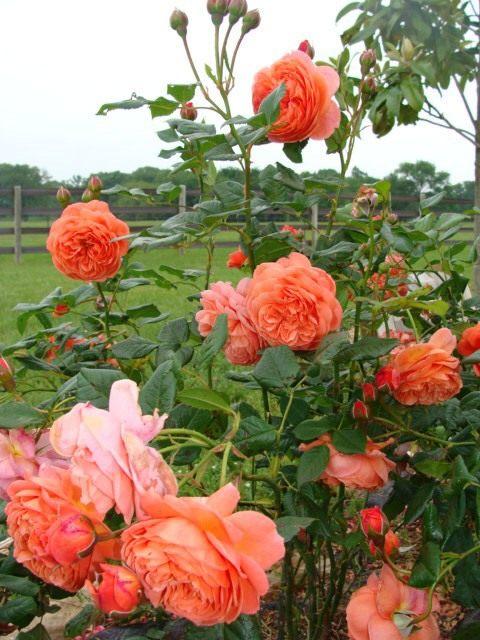 English-Rose-Summer-Song-3
