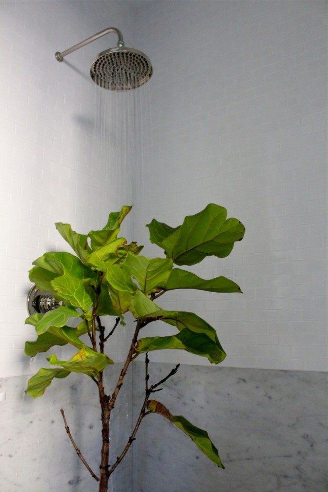 Уход за комнатным растением, теряющим листья