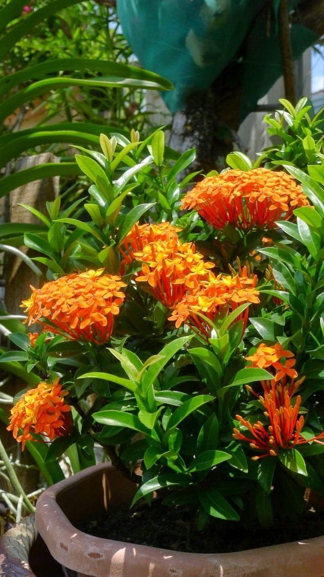 Иксора оранжевая