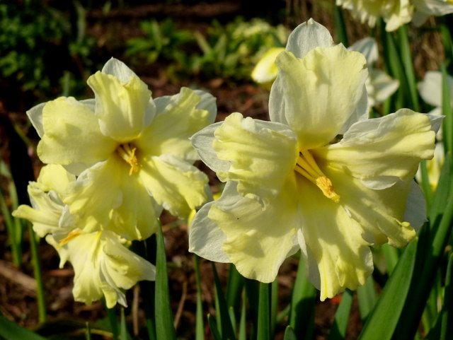 NarcissusCassata-1