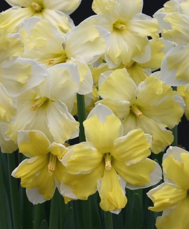 NarcissusCassata-2