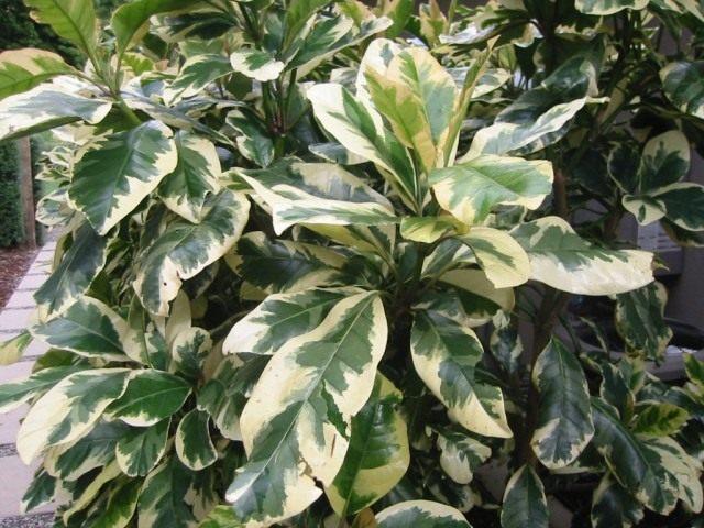 Пизония зонтичная форма вариегата (Pisonia umbellifera f. variegata)