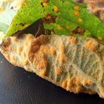 Ржавчина на листьях ивы козьей