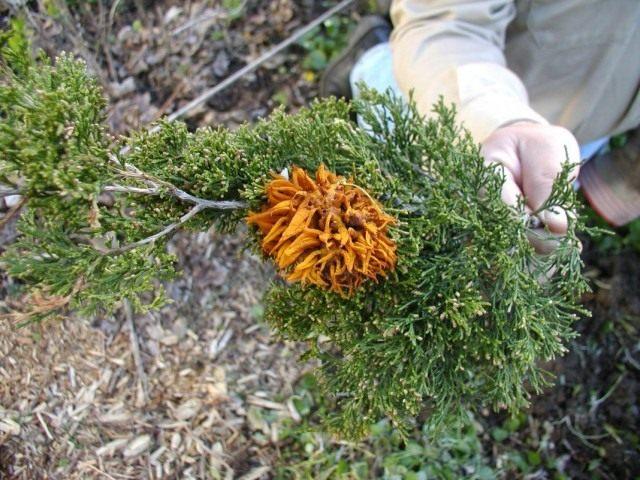 Пузырчатая ржавчина можжевельника (Gymnosporangium juniperinum)