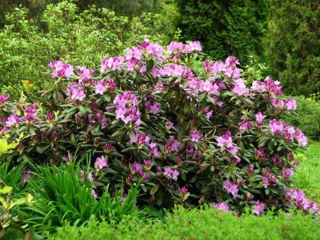 Рододендрон кэтевбинский (Rhododendron catawbiense)