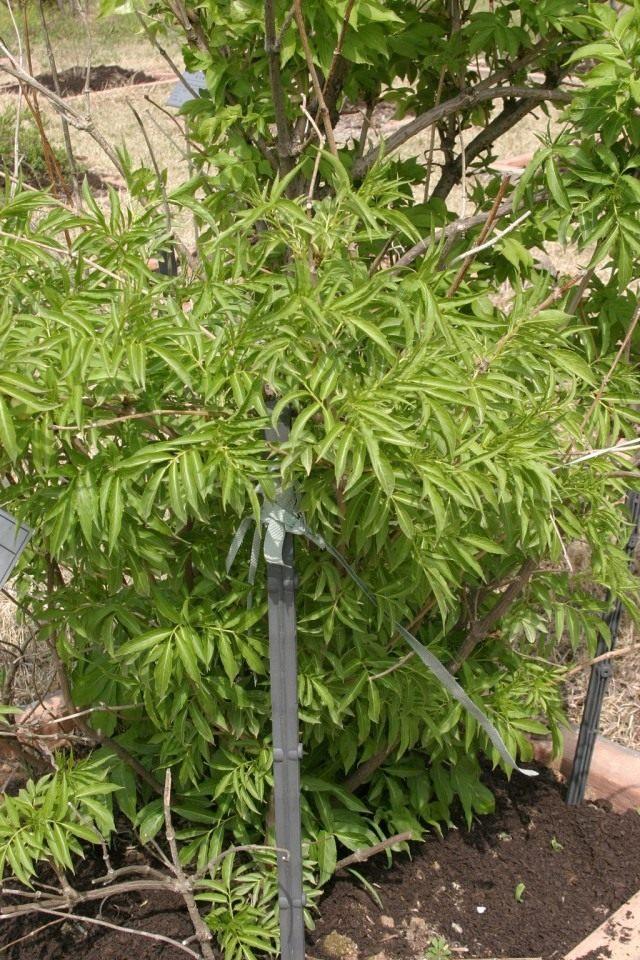 Бузину Зибольда (Sambucus sieboldiana)