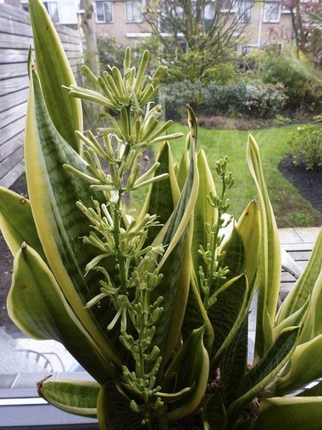 Сансевиерия трехполосная (Sansevieria trifasciata)