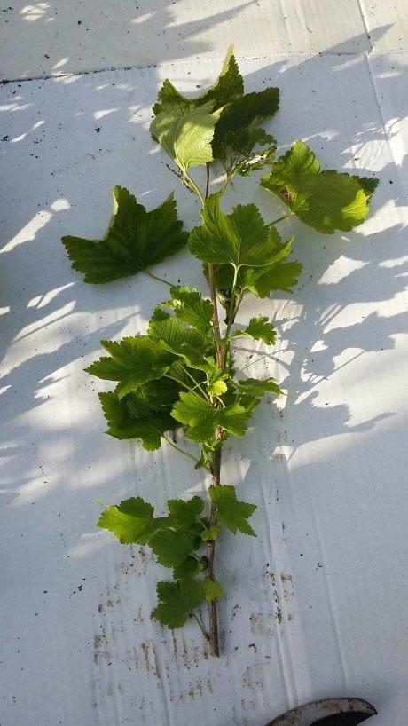 как вырастить смородину из черенков