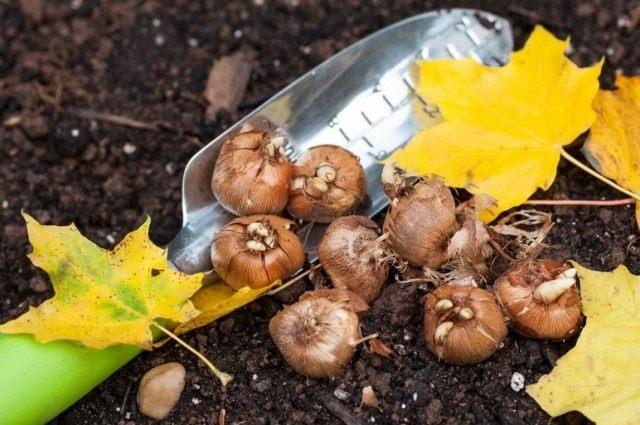 Осенняя выкопка не зимующих луковичных